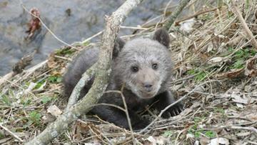 """""""Leżał na trawie i trząsł się z zimna"""". Bieszczadzcy leśnicy uratowali niedźwiadka"""